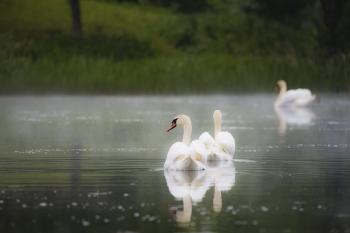 Лебедь шипун. Литва.
