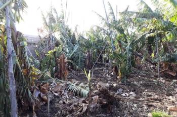 La Palma Bananų plantacijos