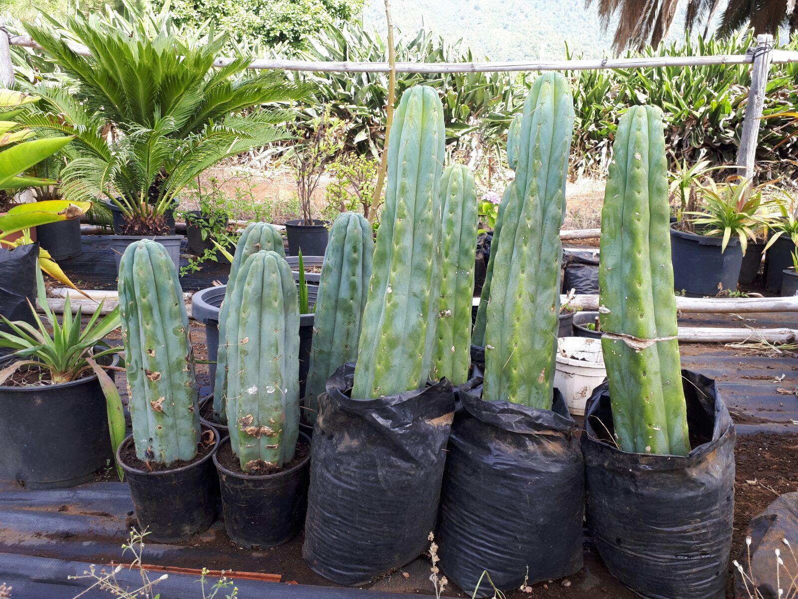 San Pedro kaktusas, haliucinogenas