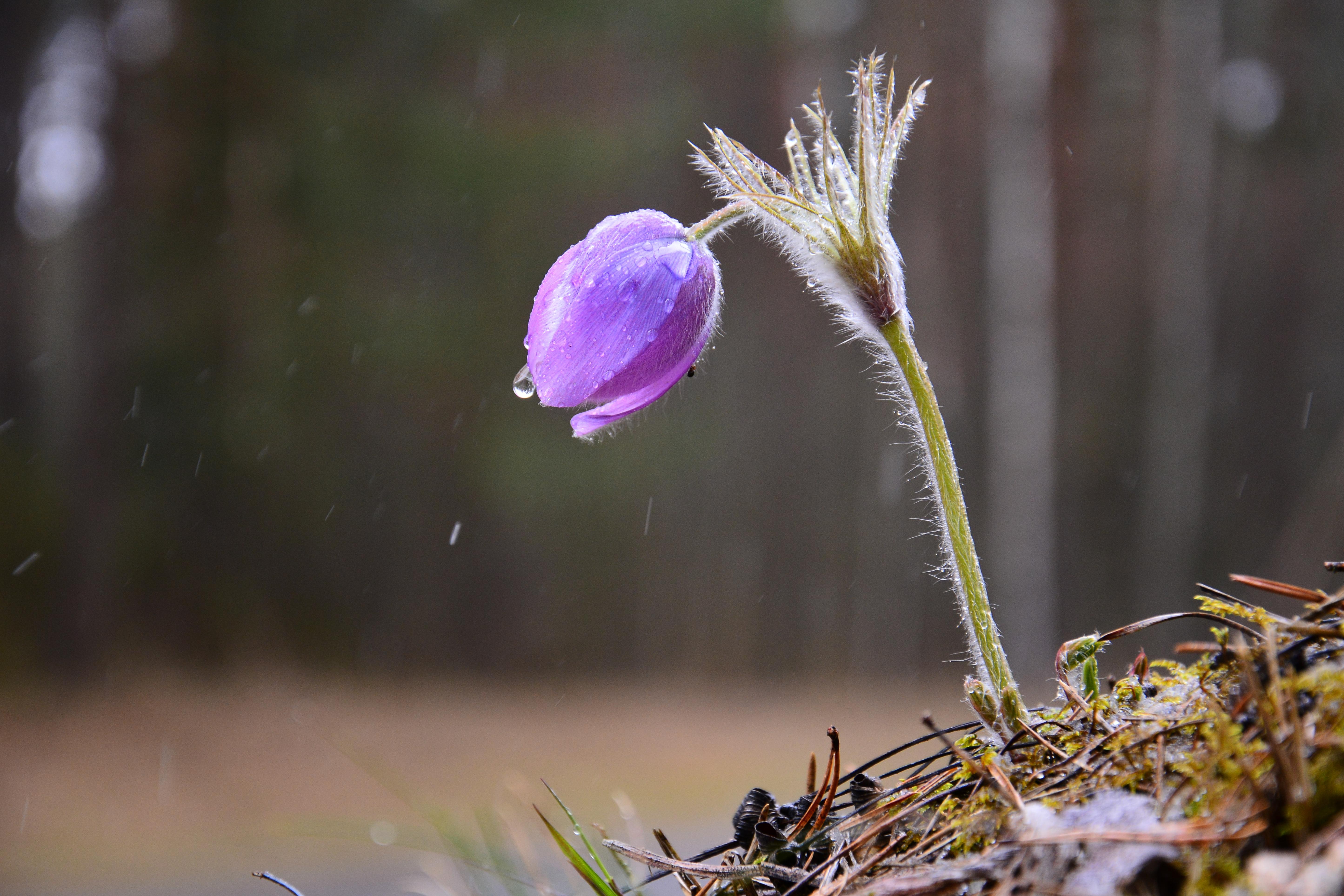 Ilčiukas M. (Šilagėlė lietuje)