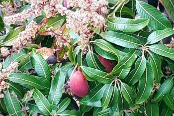Šiauriau saloje gausu mangų