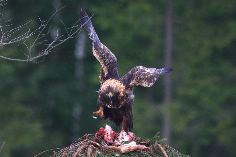 maitinant plėšriuosius paukščius atskrido kinusis erelis (n. J. Bilinsko) (2)