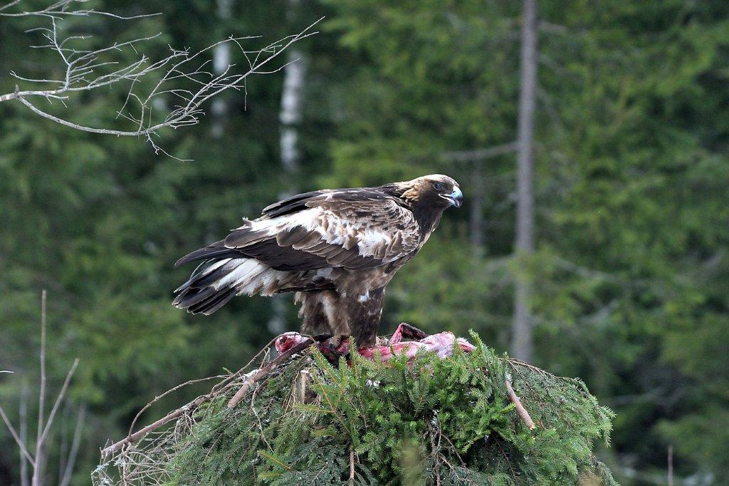 maitinant plėšriuosius paukščius atskrido kinusis erelis (n. J. Bilinsko)