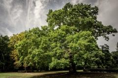 Gilvelio ąžuolas - Londonas 94905a