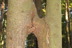 Vilkaviškis Šilelio - Egles dvynes - dvi kamienais suaugusios eglės.