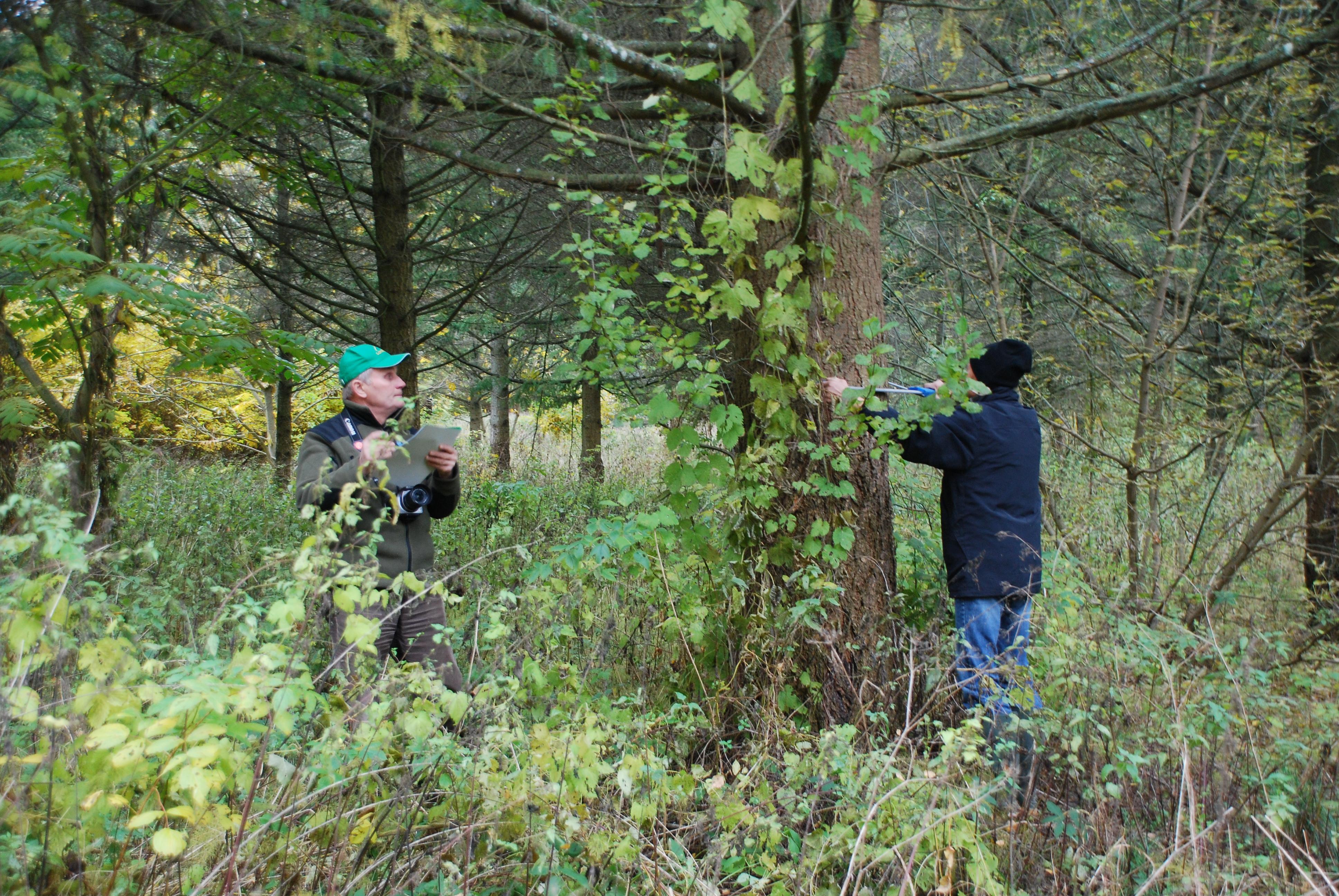 Kanadinių cūgų medynas miške šalia Girionių gyvenvietės