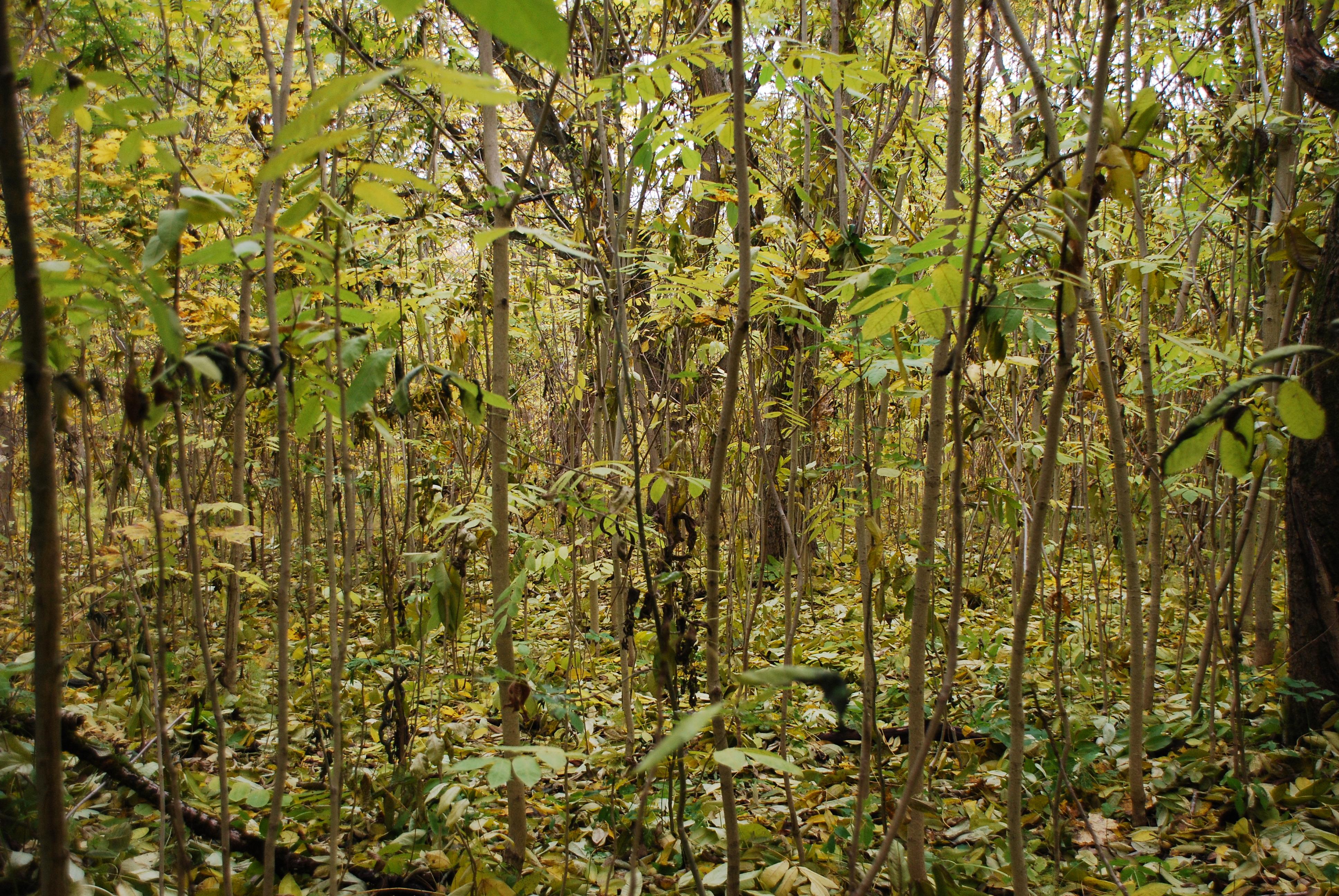 Pilkojo ir mandžiurinio riešutmedžių savaiminukai miške šalia Girionių gyvenvietės