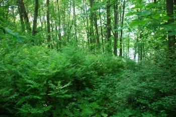 Šermukšnialapės lanksvūnės sąžalynas Ilzenbergo dvaro parke