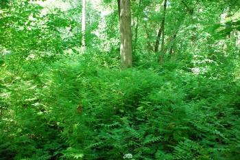 Šermukšnialapės lanksvunes sazalynas Joniškėlio dvaro parke