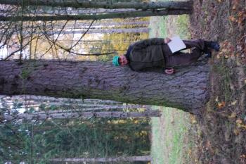Hibridinis maumedis Girionių parke