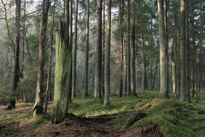 Natūraliuose spygliuočių ir mišriuose miškuose būna daug negyvos medienos. Tokių miškų Lietuvoje išlikę tik fragmentai.