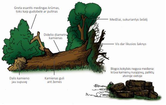 Idealus negyvos medienos pavyzdys.