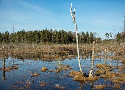 Algirdo Bruko atsakas pakilusiems į rėksmingą karą prieš miškų  kirtimus