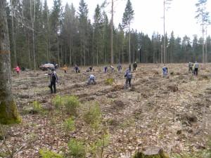 miško sodinimas 2017 008